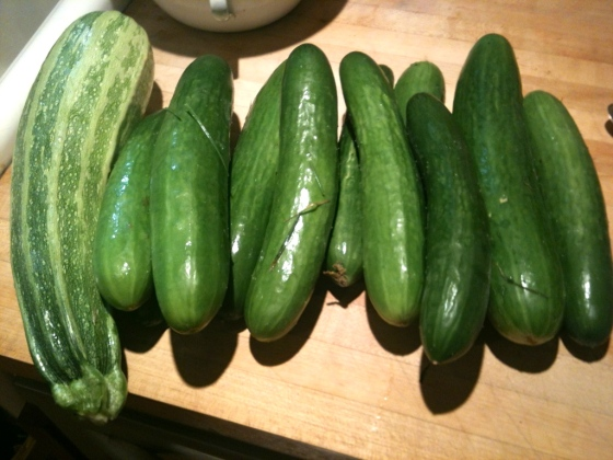 Cucumbers (and a Zuke for good measure)