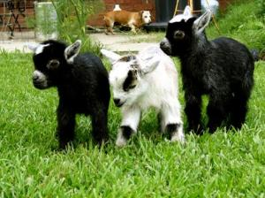 Pygmy Goats - http://blog.sfgate.com/pets/2010/01/26/pygmy-goats-the-new-it-pet/